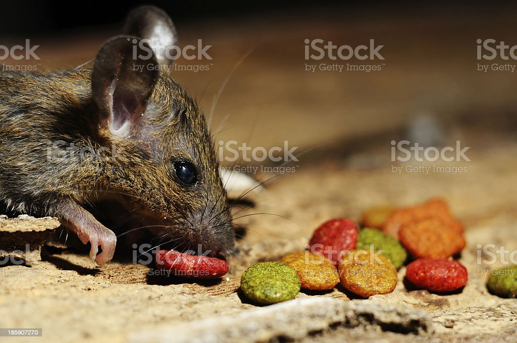 Rat eating feed stock photo