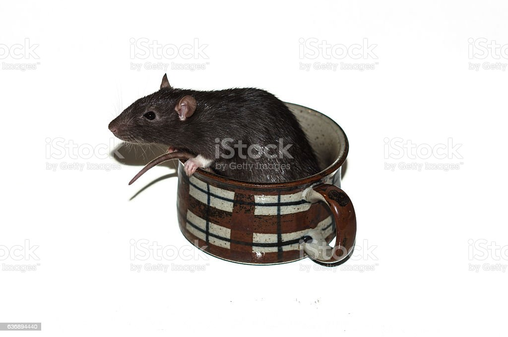 Rat in a coffee cup stock photo