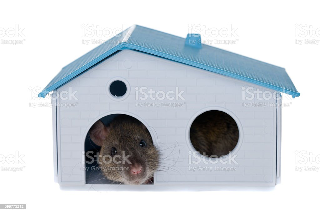 rat in a small house stock photo