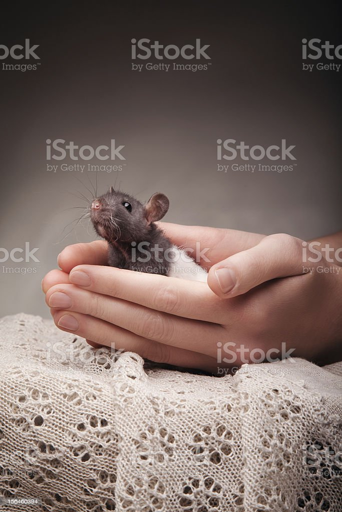 rat in hands royalty-free stock photo