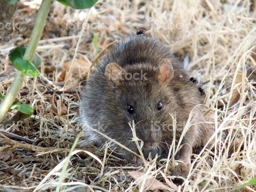 Rat in hay stock photo