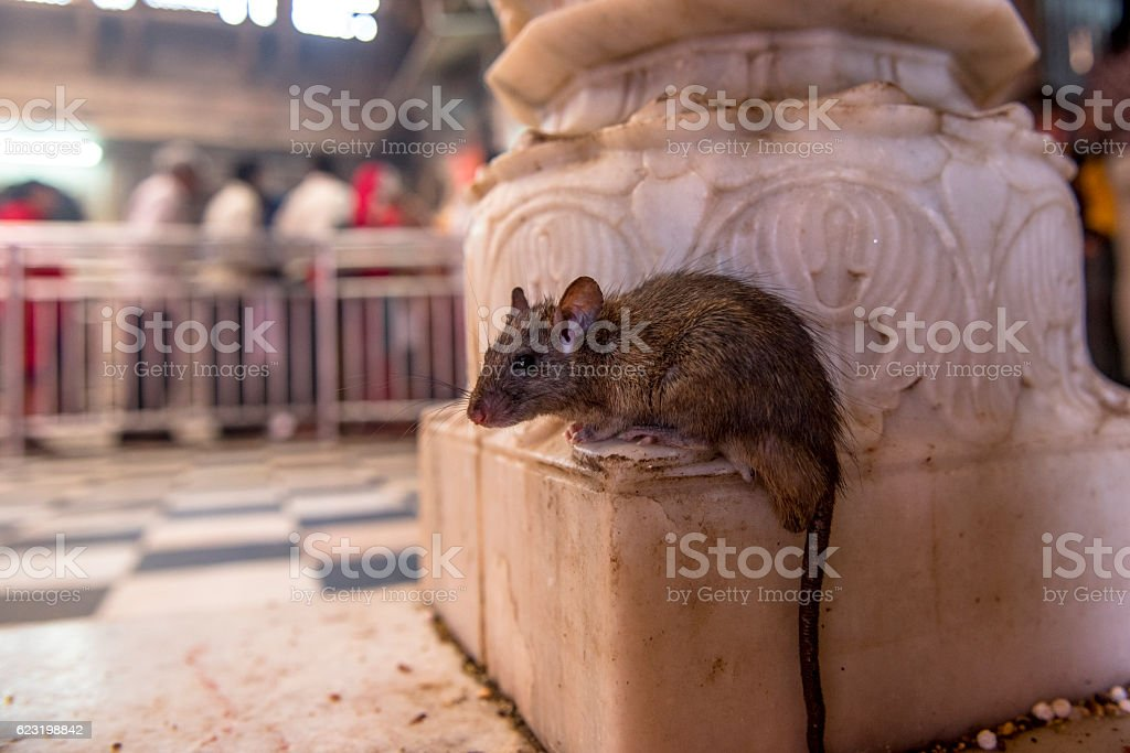 Rat in Kami mata Temple, Bikaner, India stock photo