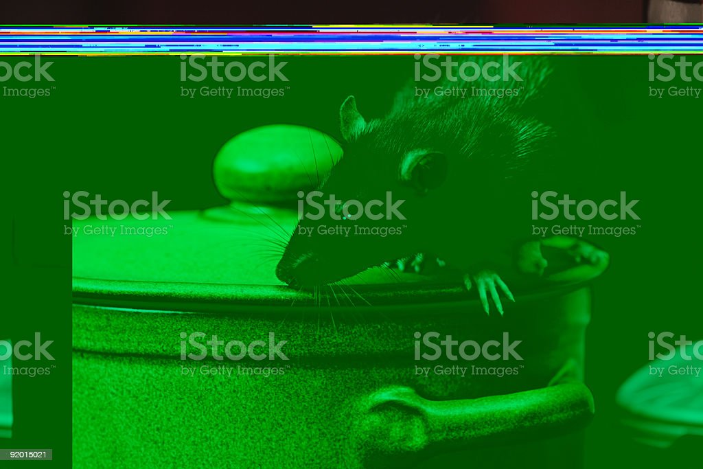 rat in kitchen stock photo