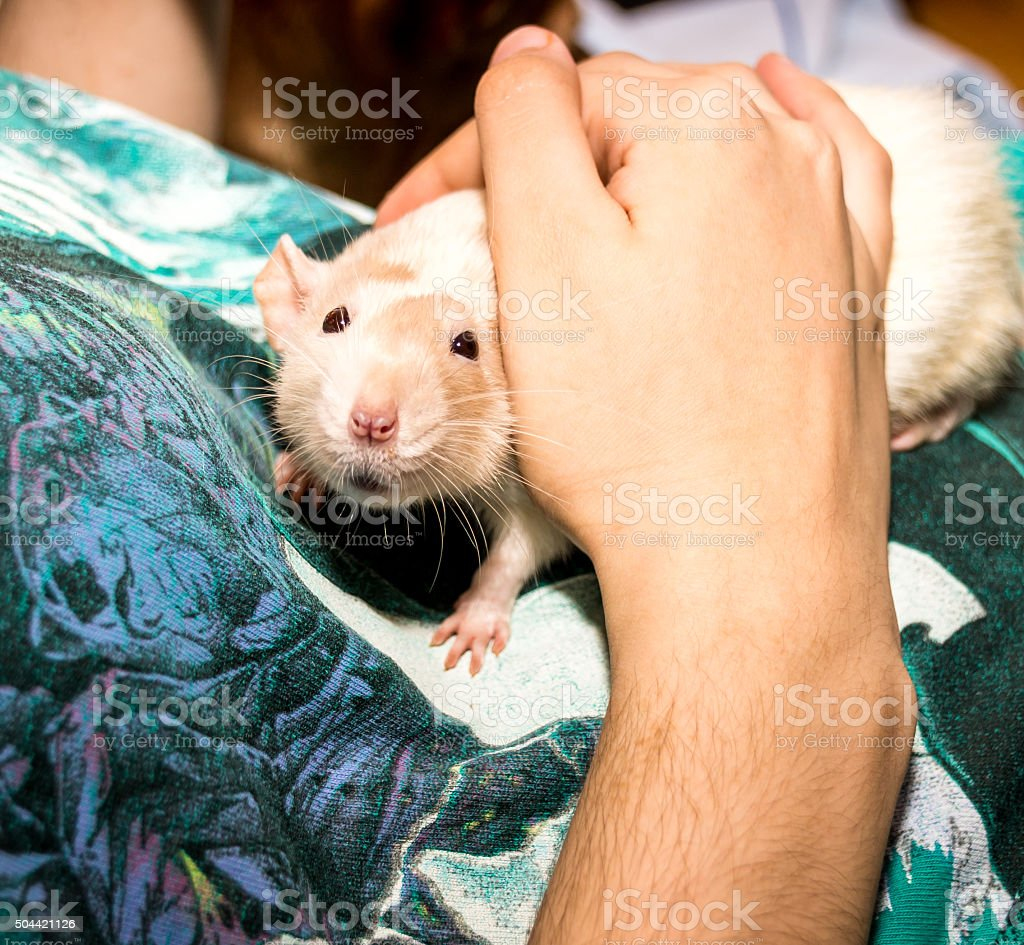 Rat Looking at Camera stock photo