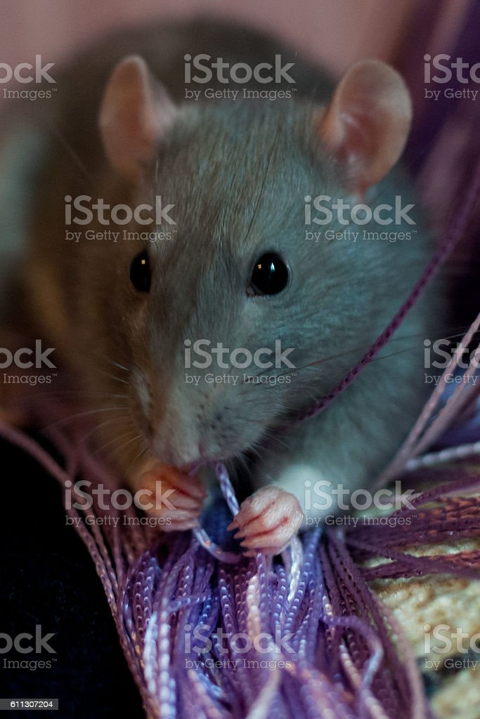 rat near the of thread curtain stock photo