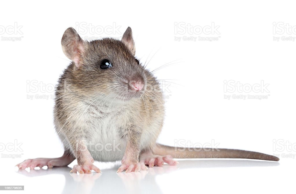 Rat on a white background royalty-free stock photo