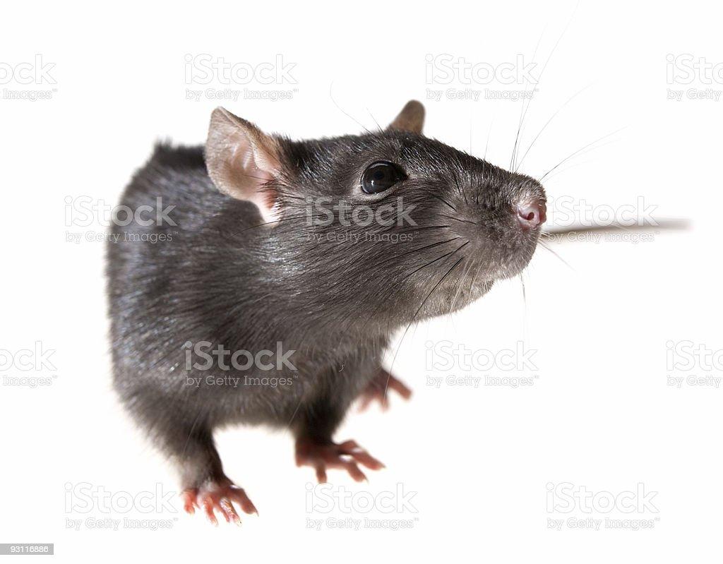 rat royalty-free stock photo