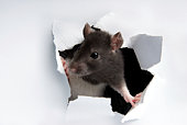 A rat poking its head through the wall