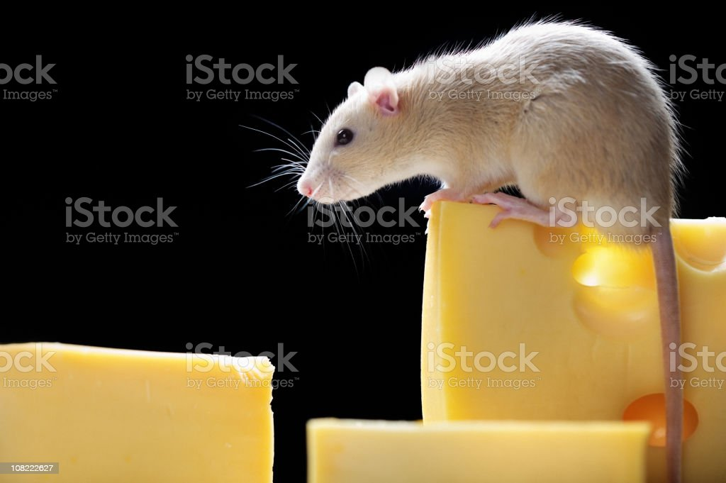 rat smelling cheese royalty-free stock photo
