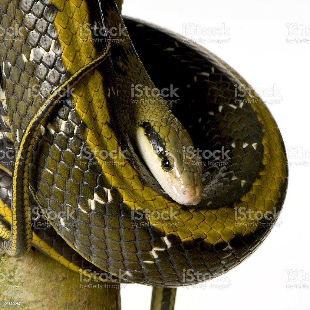 Rat snake royalty-free stock photo