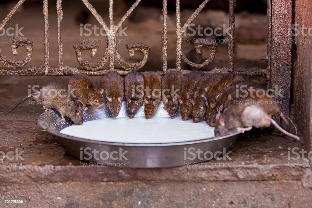 Rat Temple. (Karni Mata Mandir). stock photo