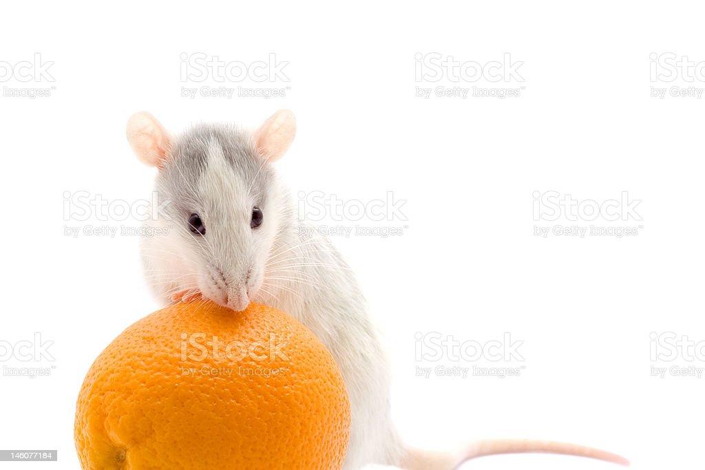 Rat with an orange royalty-free stock photo