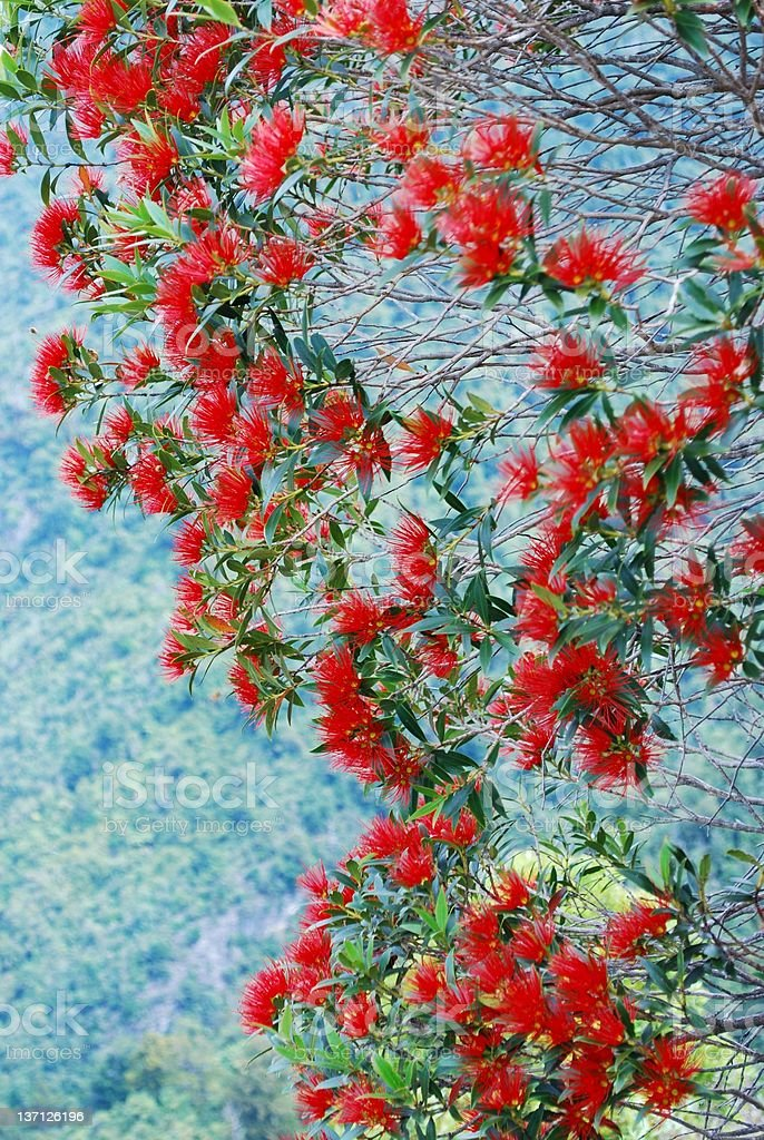 Rata in Bloom (Metrosideros Umbellata) stock photo