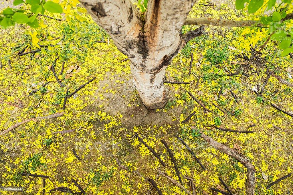 Ratchaphruek, Golden shower, koon yellow leaf stock photo