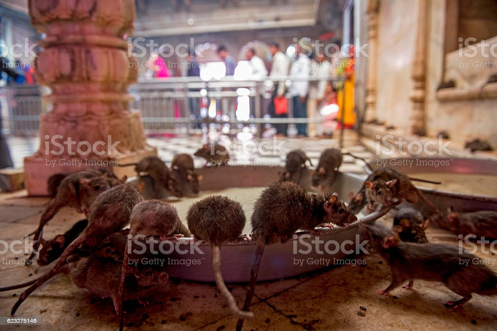 Rats drinking milk in Rat Temple, Bikaner, India stock photo