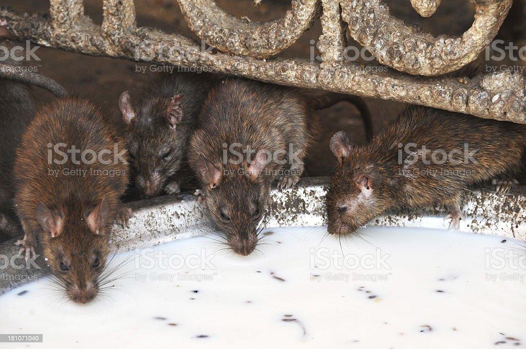 Rats Drinking Milk royalty-free stock photo