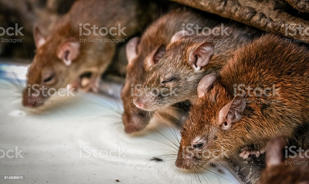 Rats drinking milk stock photo
