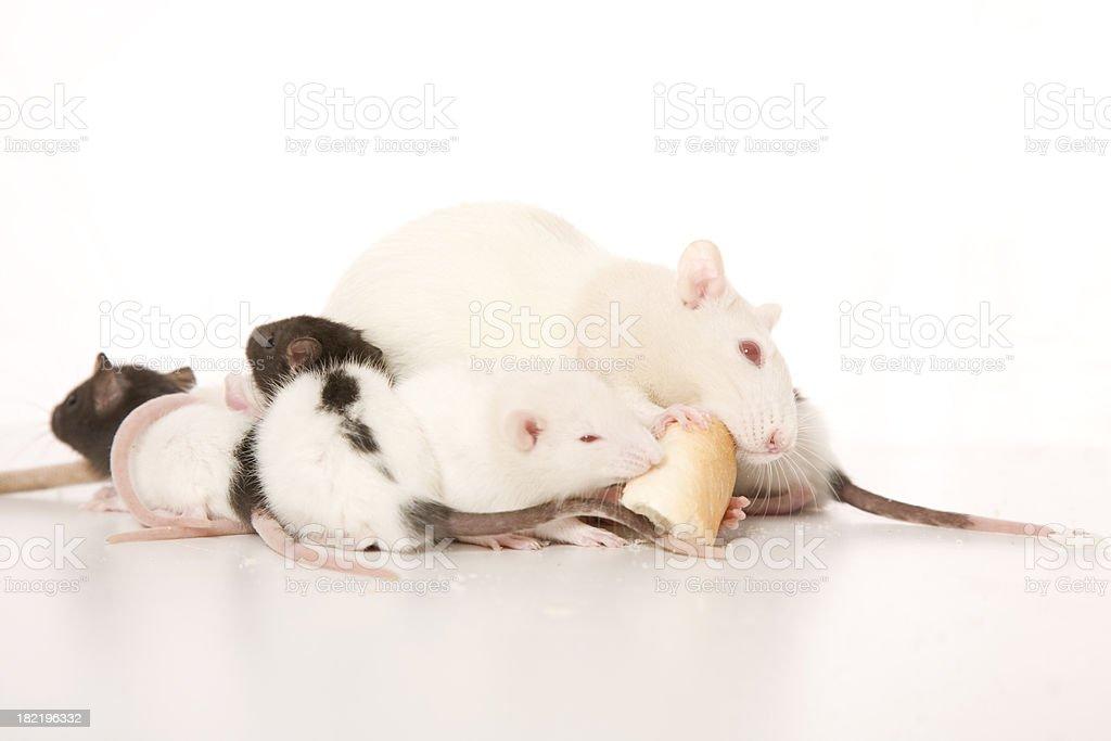 Rats royalty-free stock photo