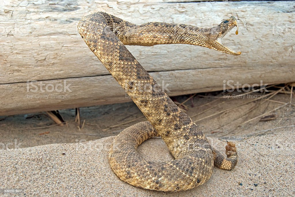 rattle snake in sand stock photo