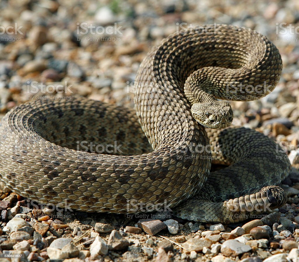 Rattle snake poised stock photo
