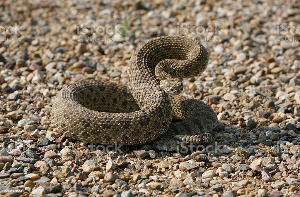 Rattle snake poised to strike stock photo