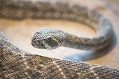 Rattlesnake ( crotalus) close up view