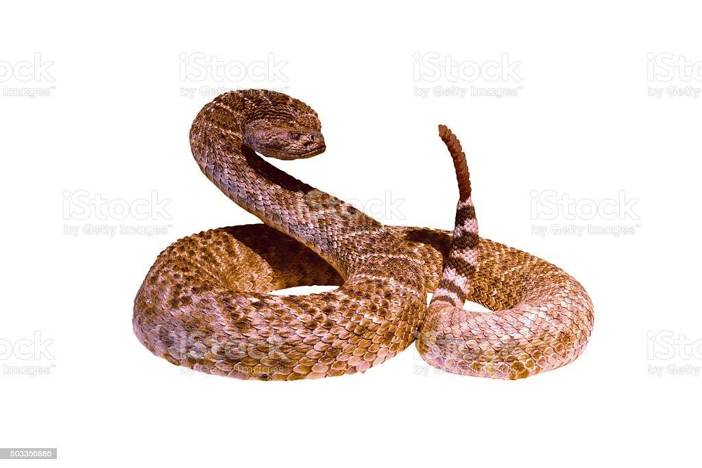 Rattlesnake in a threatening posture stock photo