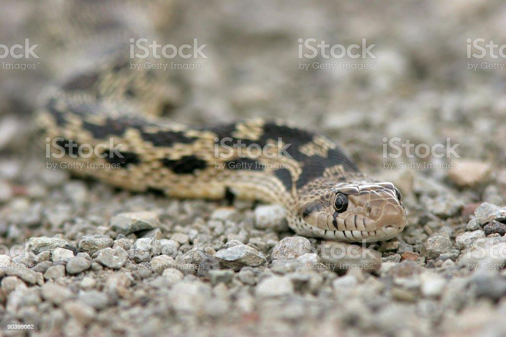 Rattlesnake in Gravel stock photo