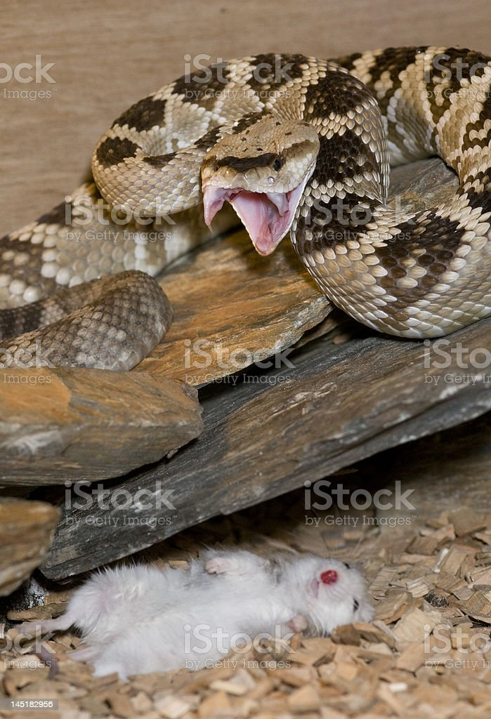 rattlesnake makes a kill stock photo