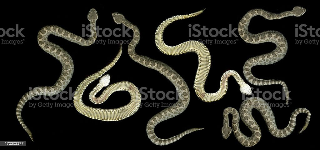 Rattlesnake stock photo