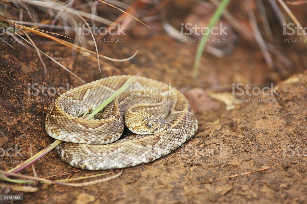 Rattlesnake royalty-free stock photo