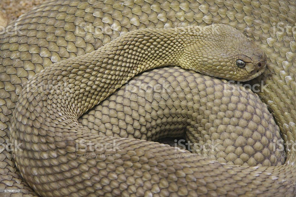 rattlesnake stock photo