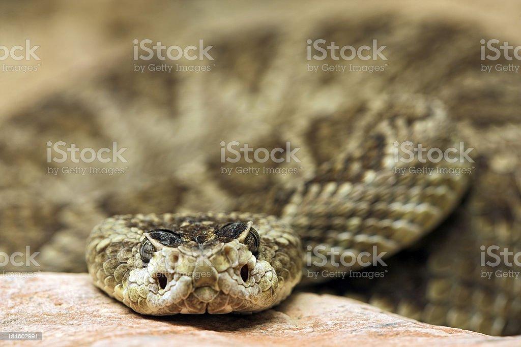 Rattlesnake Stare stock photo