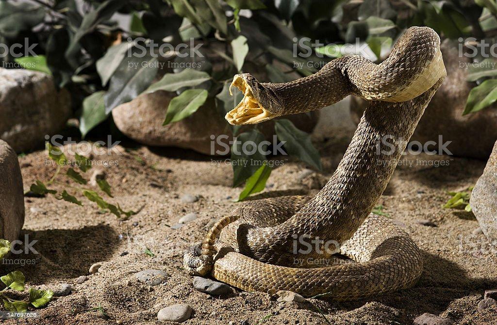 Rattlesnake with rocks stock photo