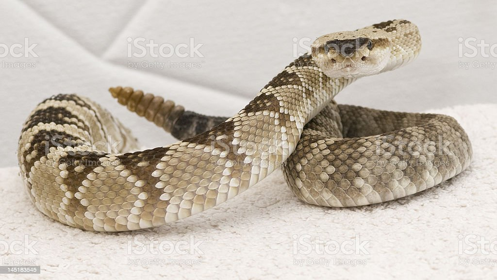 rattlesnake with the X factor stock photo
