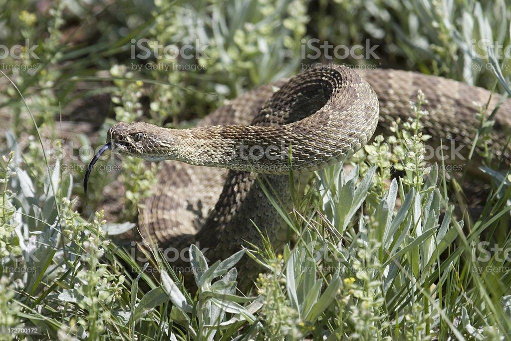 Rattlesnake with toungue ready to strike in prairie grass stock photo