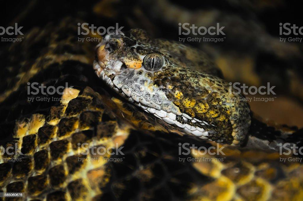 Rattlesnake's Head stock photo