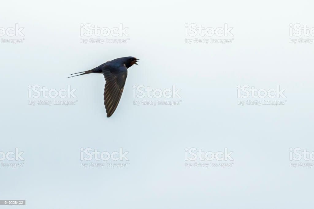 Rauchschwalbe (Hirundo rustica) stock photo