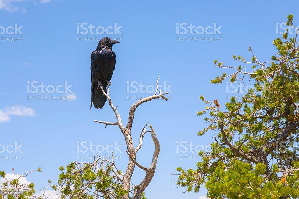 raven at a tree at grand canyon stock photo