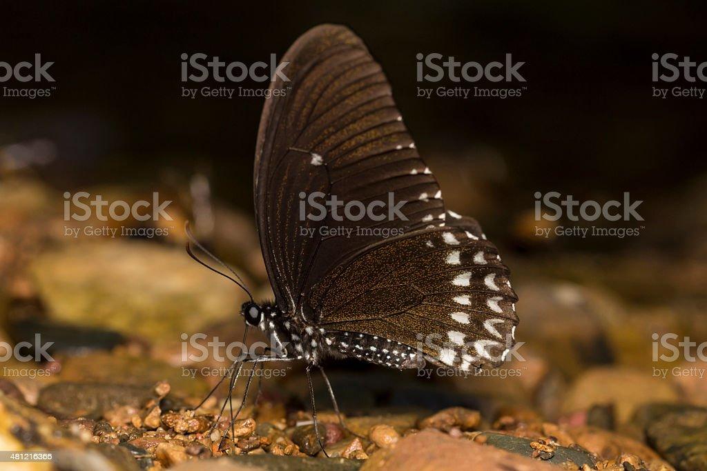 Raven Butterfly stock photo