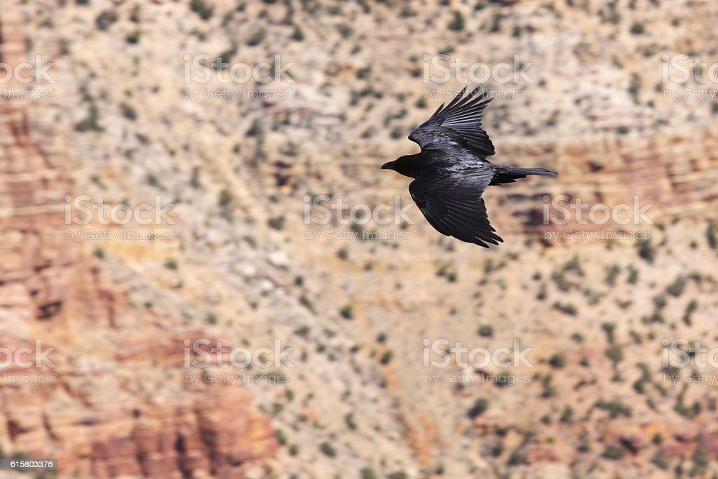 Raven Corvus corax principalis Soaring Wings stock photo