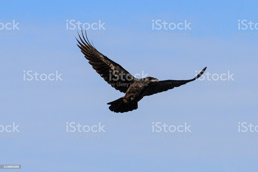 raven flying on a background of gray sky stock photo