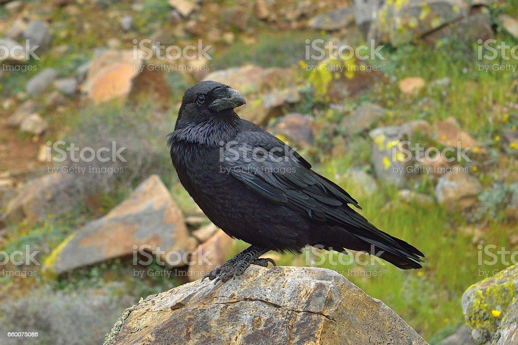 Raven (Corvus corax) in Fuerteventura - Degollada de los Grandillos stock photo