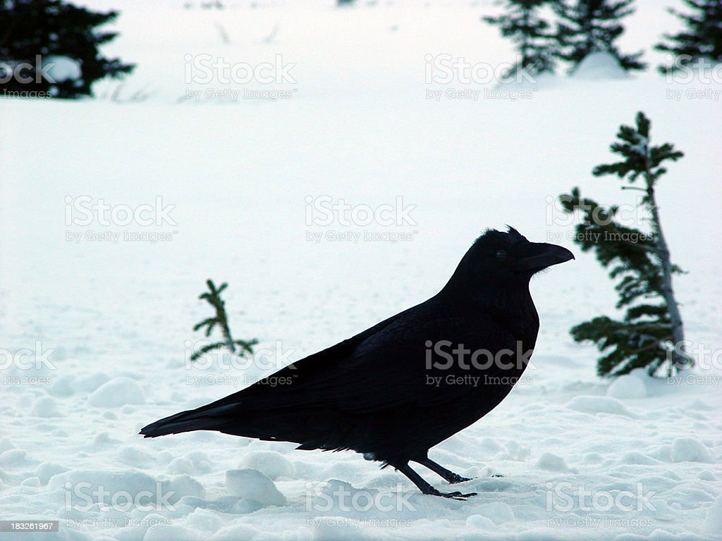 Raven in profile royalty-free stock photo