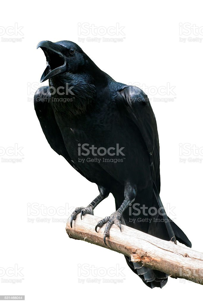 Raven Isolated - Raven calling out on Tree Branch stock photo
