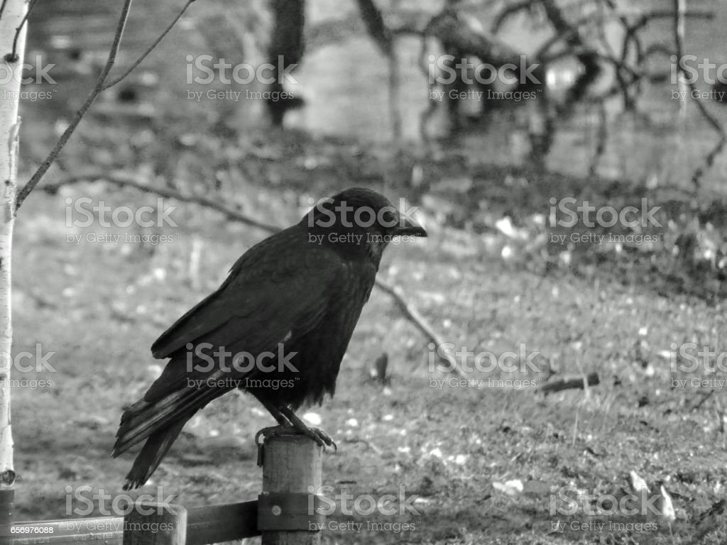 Raven on a fence stock photo