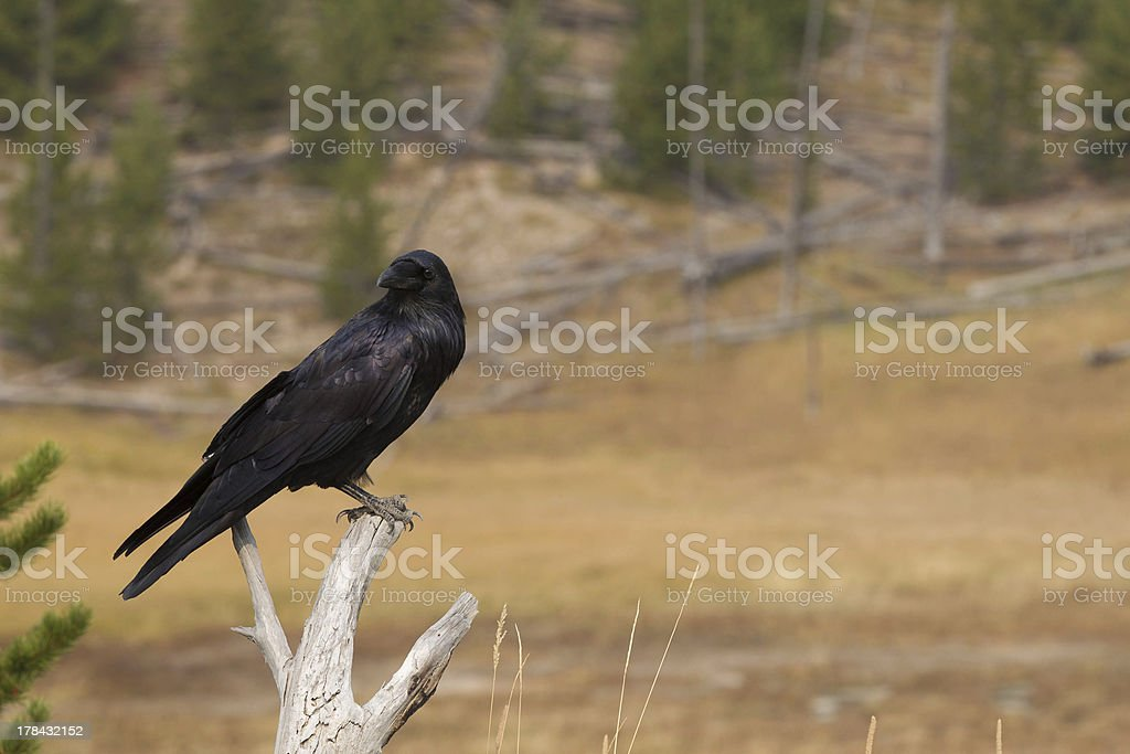Raven on bleached out wood in Yellowstone National Park royalty-free stock photo