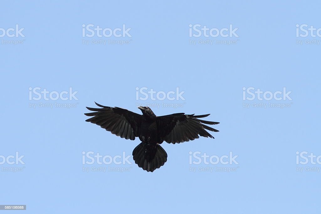 raven on the sky stock photo