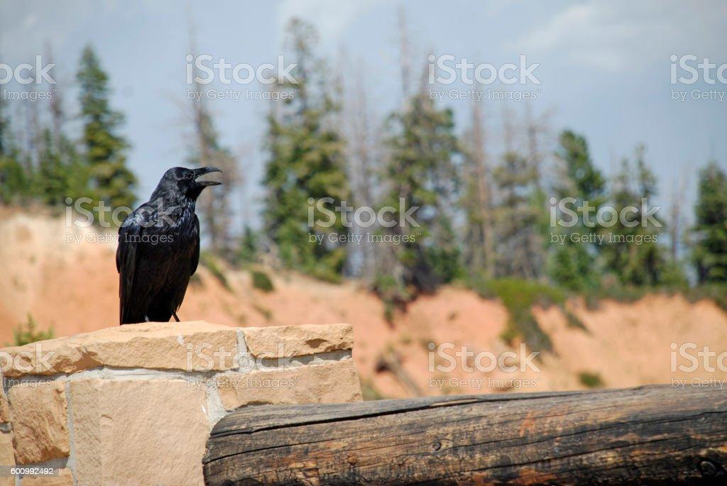Raven - Open Beak stock photo