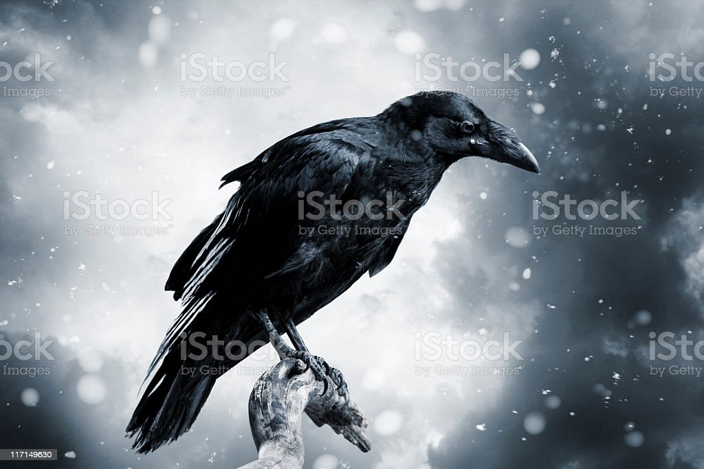 Raven royalty-free stock photo